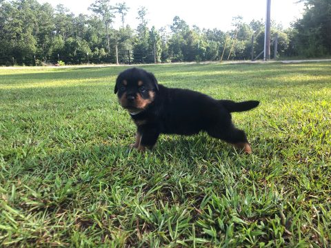 Rottweiler Puppy playing in the grass.