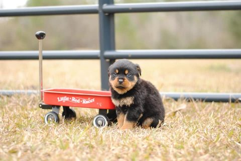 Rottweiler Puppy Outside with Wagon