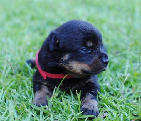 Rottweiler Puppy Laying in the Grass