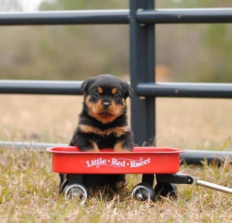 Rottweiler Puppy with Wagon