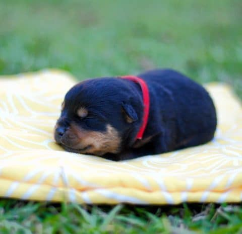 Rottweiler Puppy Sleeping on Blanket Outside