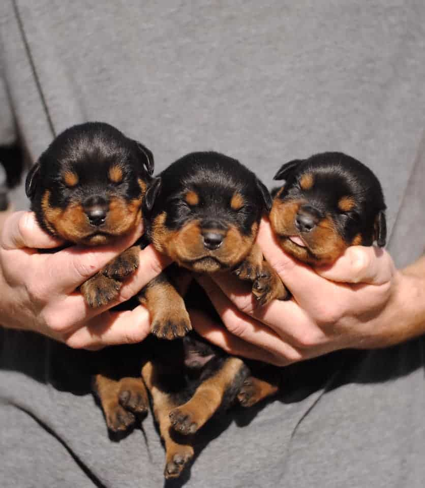 Newborn Rottweiler Puppies