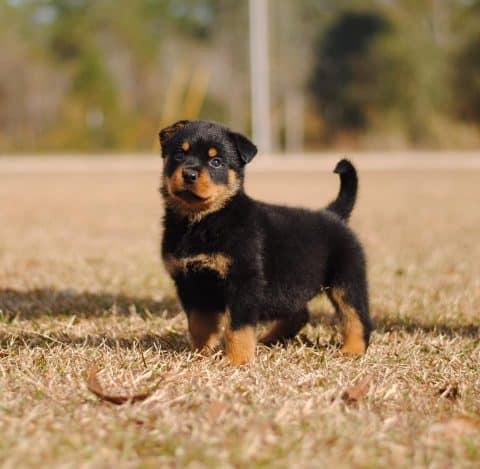 Rottweiler Puppy in Yard Outside