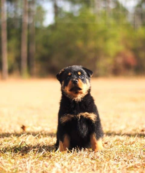 Rottweiler Puppy Outside