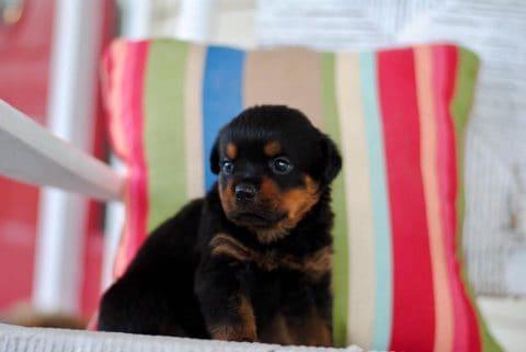 Rottweiler Puppy in Chair