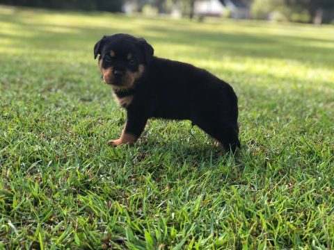 Rottweiler Puppy Outside in Grass