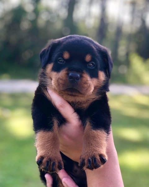 Rottweiler Puppy Being Held