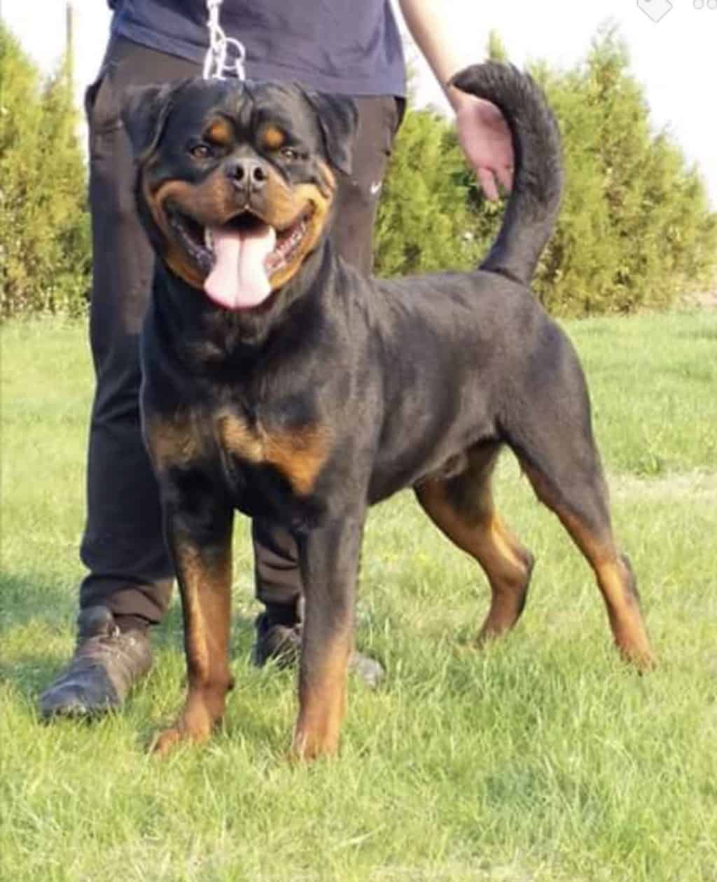 Champion Rottweiler with a tail