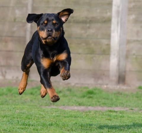 Rottweiler Hip Dysplasia PREVENTION keep a puppy from jumping high distance