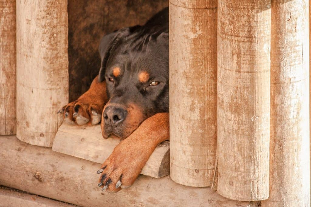 Rottweiler Hip Dysplasia can come on at any time not just old age