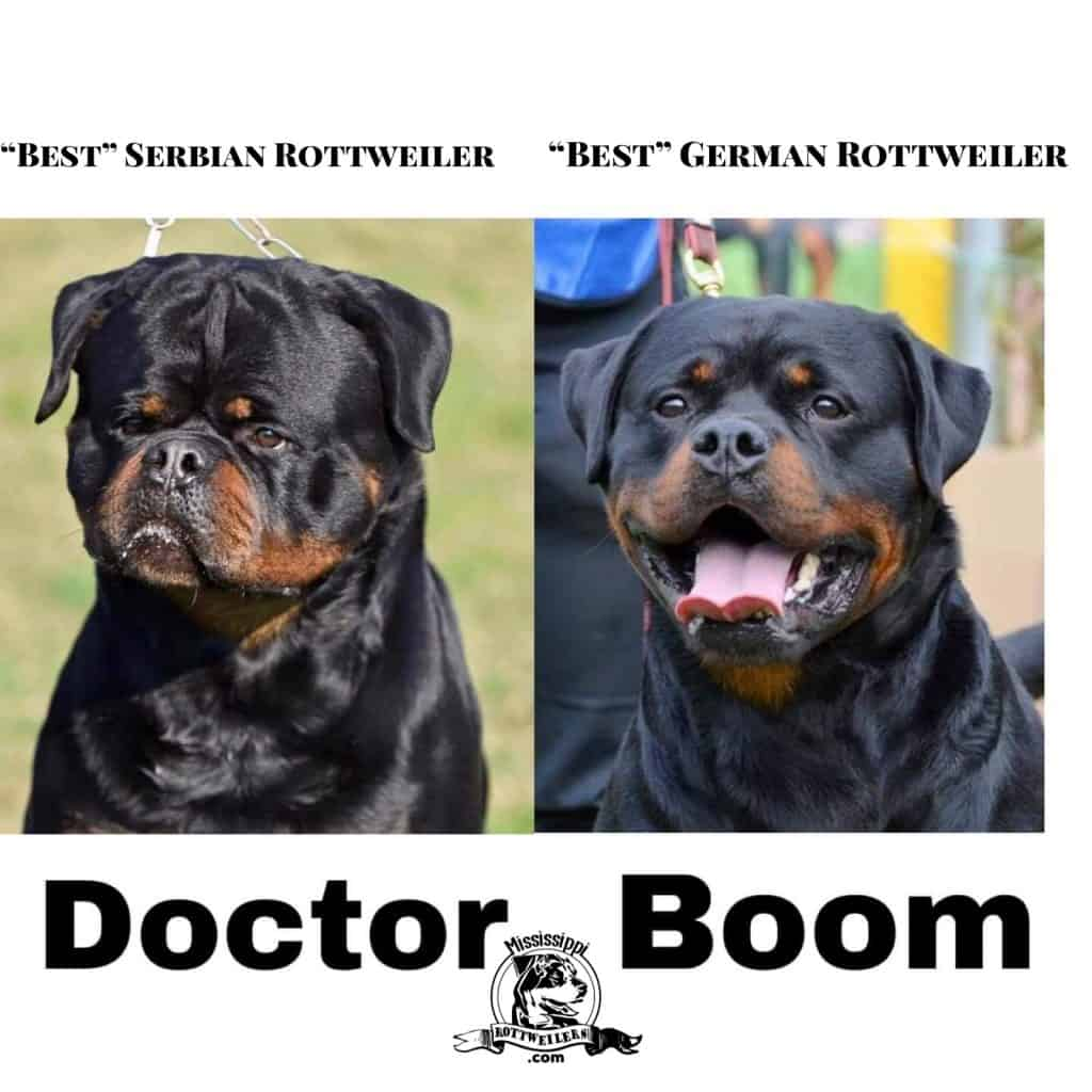 top champion rottweilers