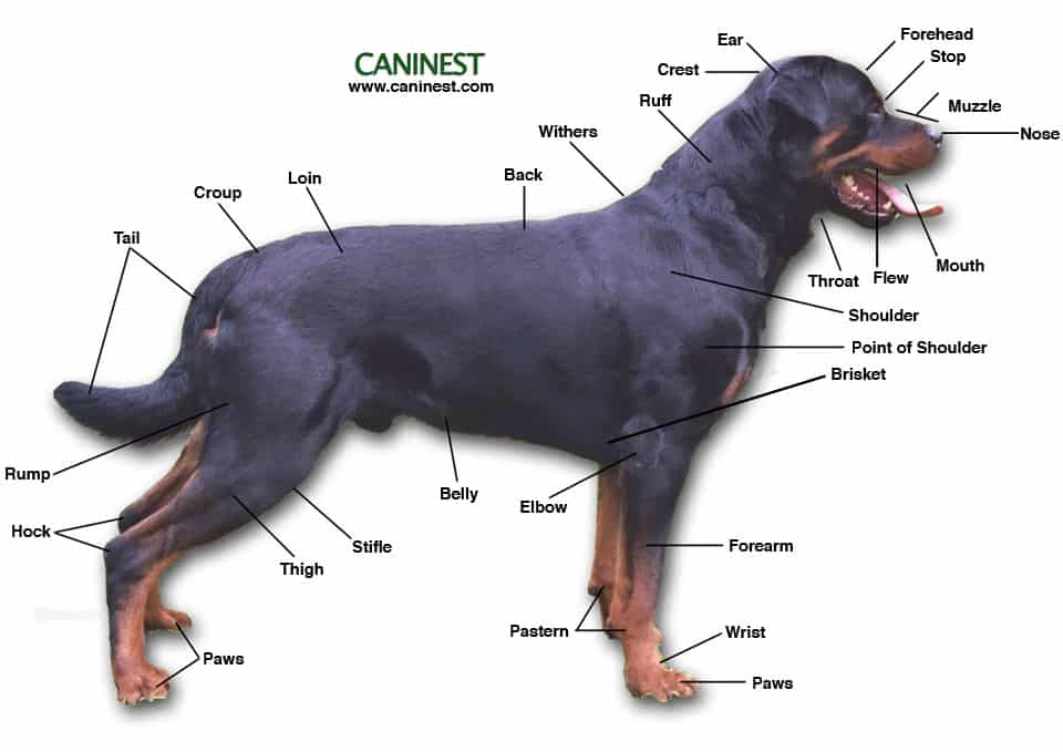 German Rottweiler vs American Rottweiler is in the looks