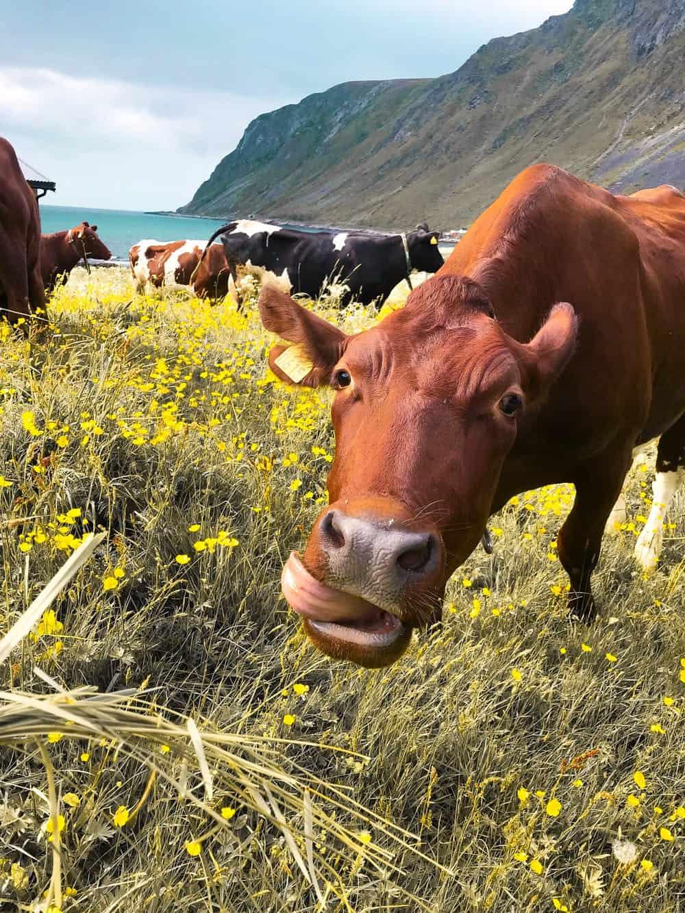 Rottweiler cow herding dog