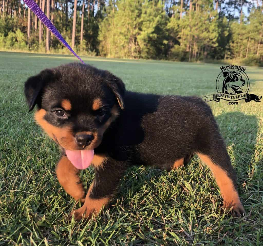 Rottweiler puppy for sale, female born 07-22-19