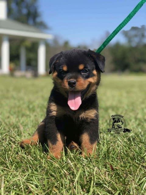 German-rottweiler-puppy-for-sale