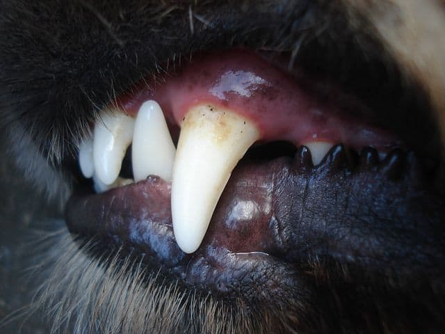 Rottweiler teeth brushing