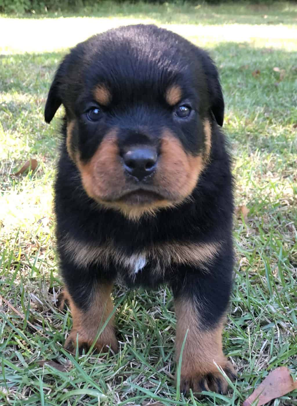 white spot on the chest of a German Rottweiler