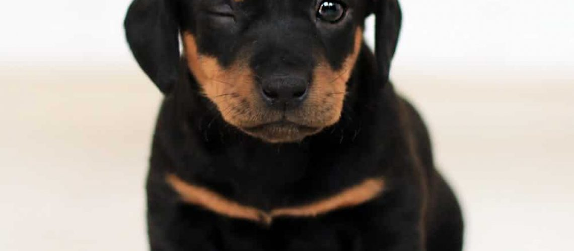 image of rottweiler Boston mix