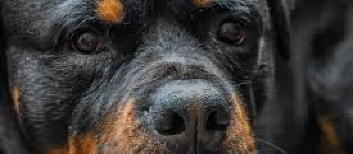 giant rottweiler