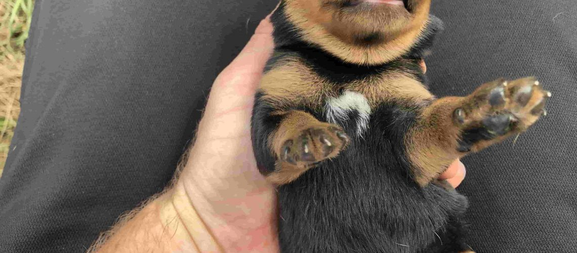 Rottweiler with white spot on chest