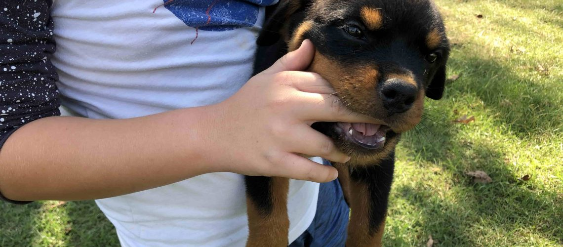 Rottweiler playfully biting kids finger