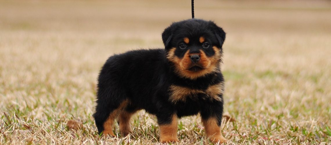 Miniature Rottweilers Mississippi